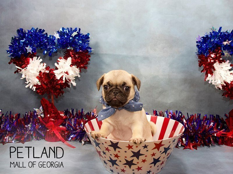 Pug-Male-FN-2398528-Petland Mall of Georgia