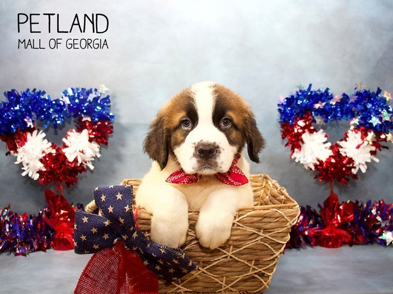 Saint Bernard-Male-Sable White-2396675-Petland Mall of Georgia