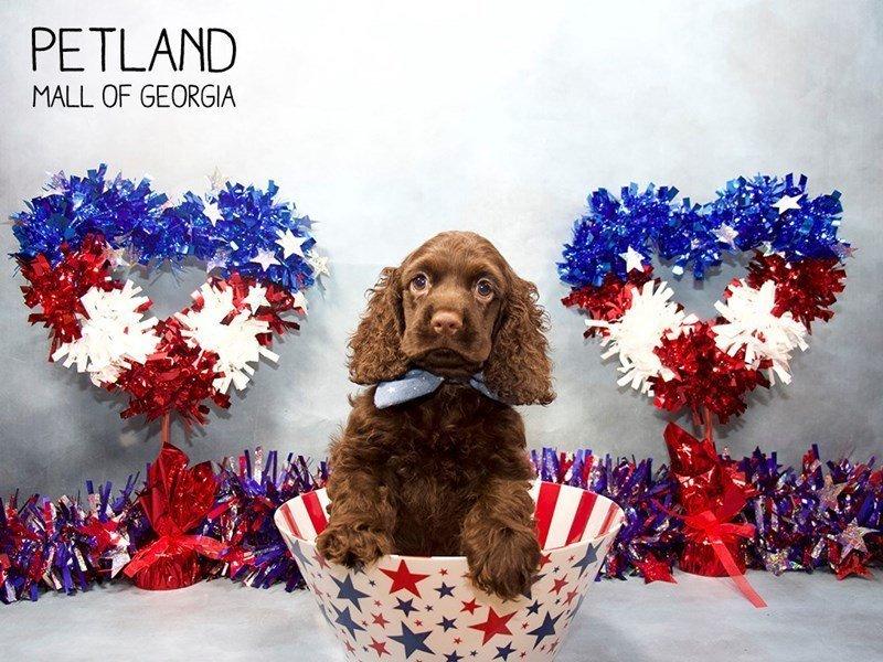 Cocker Spaniel-Male-choc-2402486-Petland Mall of Georgia