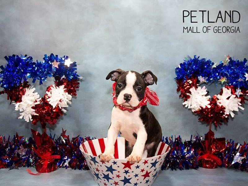 Boston Terrier-Male-Brindle / White-2380335-Petland Mall of Georgia