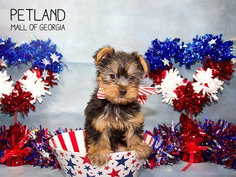 Yorkshire Terrier-Male-BLK & TN-2384678-Petland Mall of Georgia