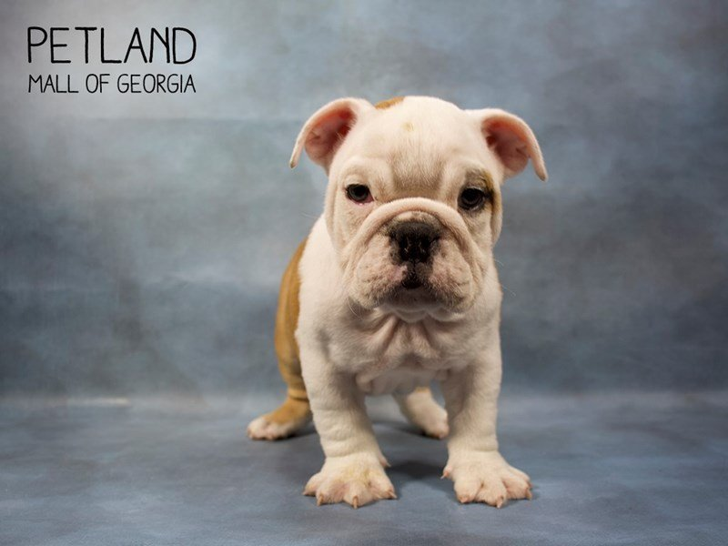 English Bulldog-Female-Fawn-2410924-Petland Mall of Georgia