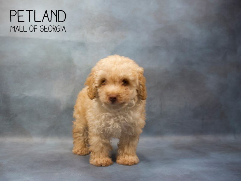 Miniature Poodle-Male-APRICOT-2408884-Petland Mall of Georgia