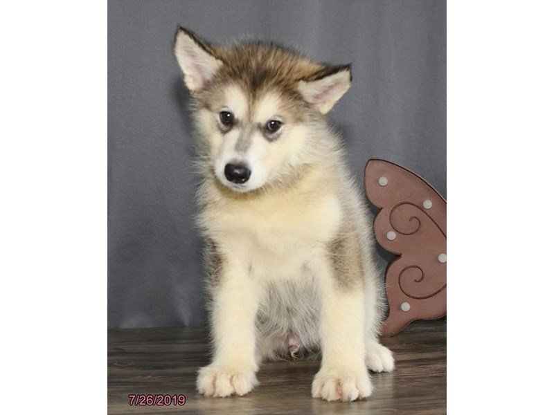 Alaskan Malamute-Male-Gray / White-2415341-Petland Mall of Georgia