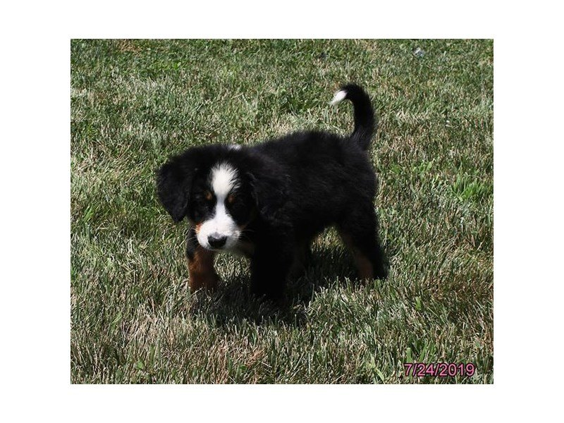 Bernese Mountain Dog-Female-Black Rust / White-2415343-Petland Mall of Georgia