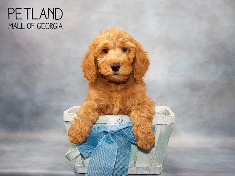 Goldendoodle-Male-Red-2421771-Petland Mall of Georgia