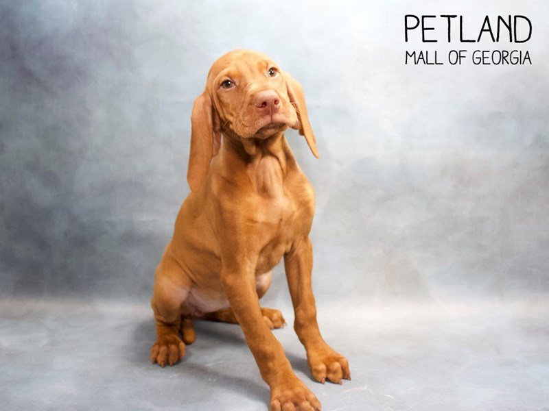 Vizsla-Female-Rust-2428790-Petland Mall of Georgia