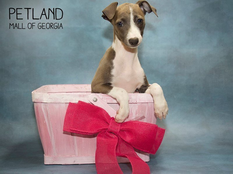 Italian Greyhound-Female-Blue / White-2433573-Petland Mall of Georgia