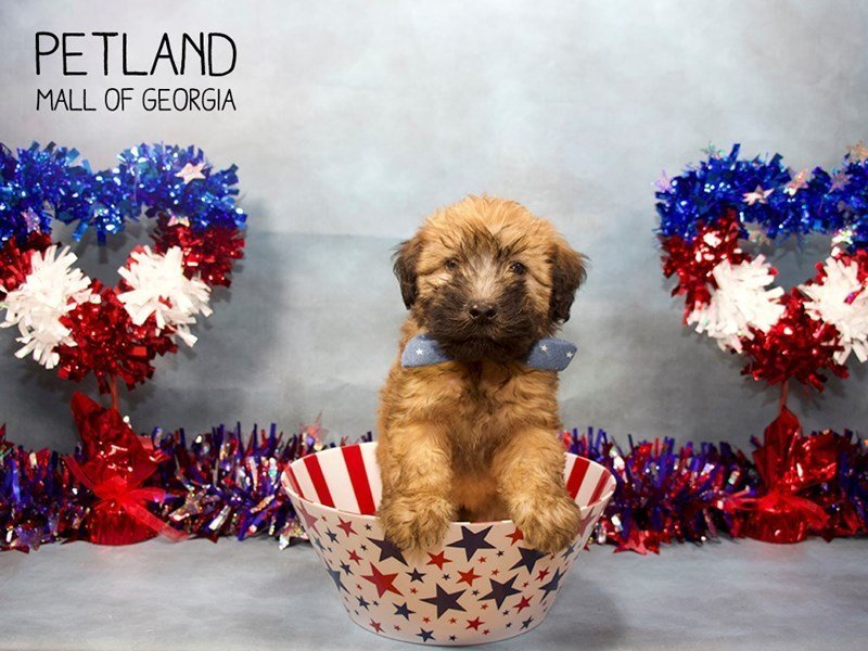 Soft Coated Wheaten Terrier-Male-Brown-2396432-Petland Mall of Georgia
