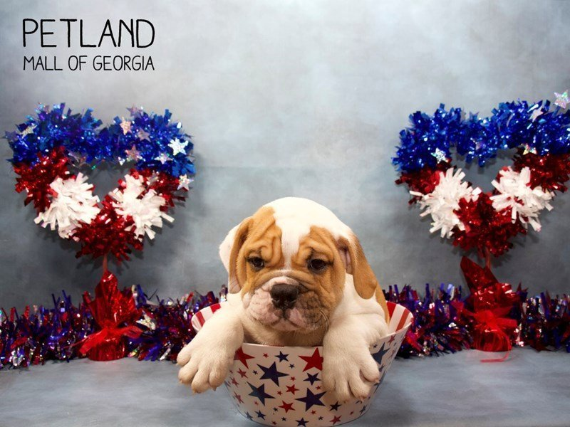English Bulldog-Male-fawn White-2414866-Petland Mall of Georgia