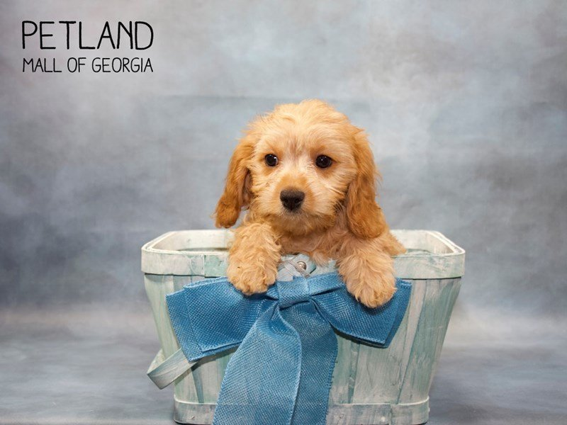 Puppy Photo Gallery - Petland Mall of Georgia - View Puppies
