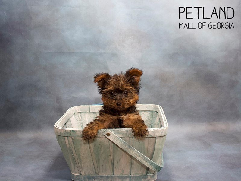 Yorkshire Terrier-Male-Black / Tan-2428837-Petland Mall of Georgia