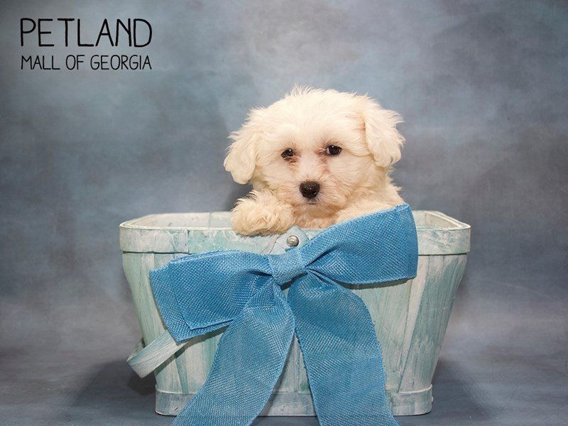 Bichon Frise-Male-WHITE-2432985-Petland Mall of Georgia