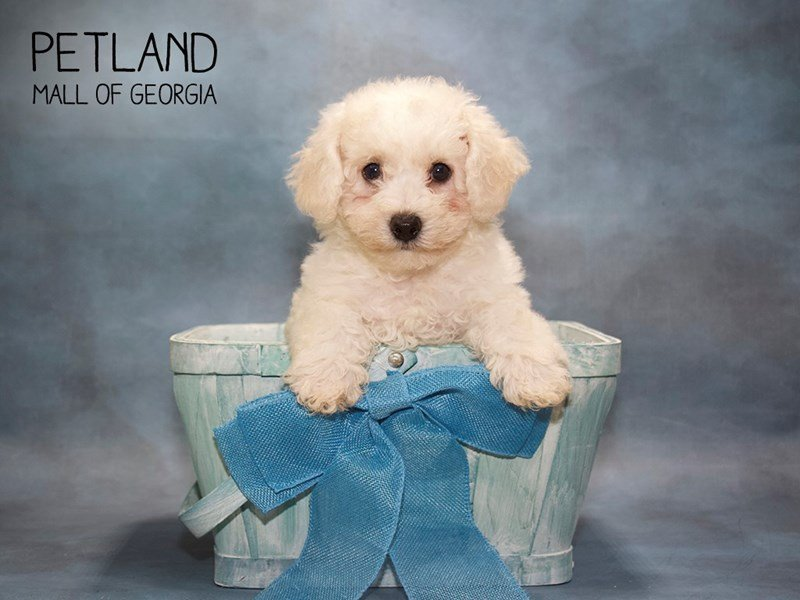 Bichon Frise-Male-WHITE-2432839-Petland Mall of Georgia