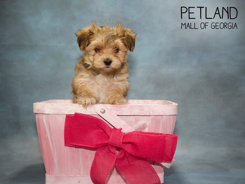 Morkie-Female-BEIGE-2432789-Petland Mall of Georgia