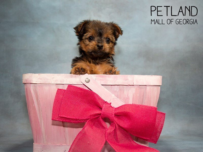 Yorkshire Terrier-Female-Black / Tan-2455180-Petland Mall of Georgia