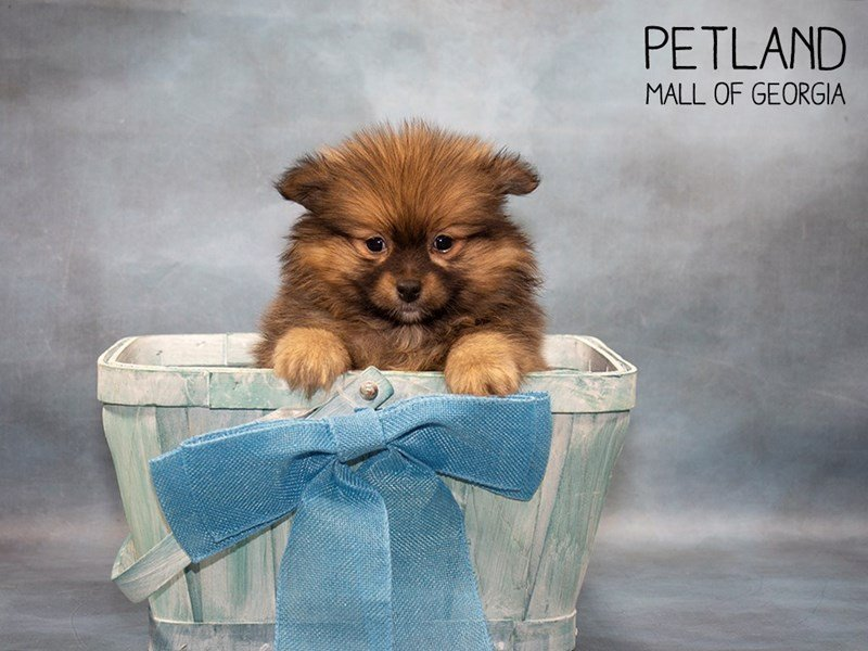 Pomeranian-Male-wlf sbl-2467416-Petland Mall of Georgia