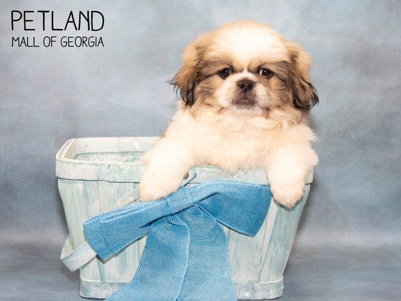 Pekingese-Male-Fawn Sable-2467126-Petland Mall of Georgia