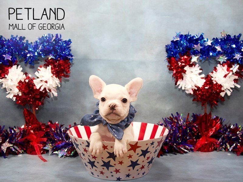 French Bulldog-Male-White-2393842-Petland Mall of Georgia