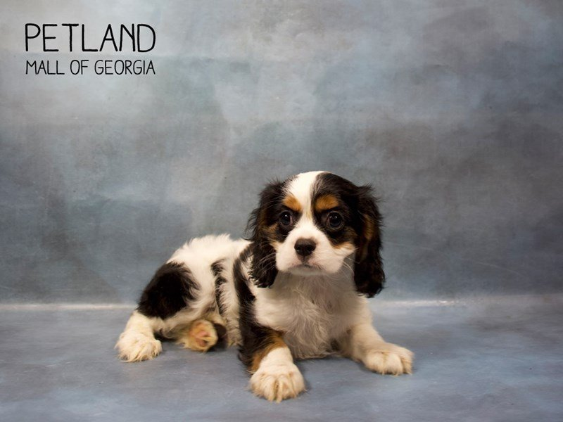 Cockalier-Male-TRI-2408370-Petland Mall of Georgia
