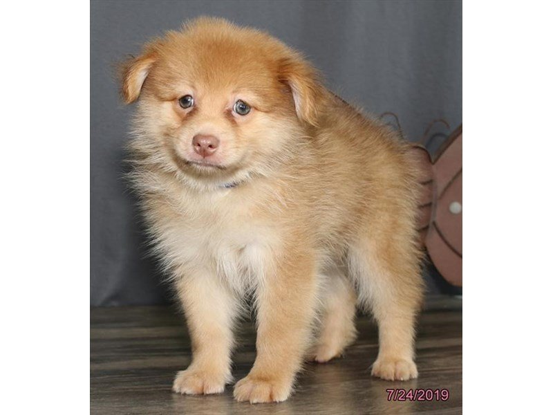 Pomeranian-Male-Red Sable-2415342-Petland Mall of Georgia