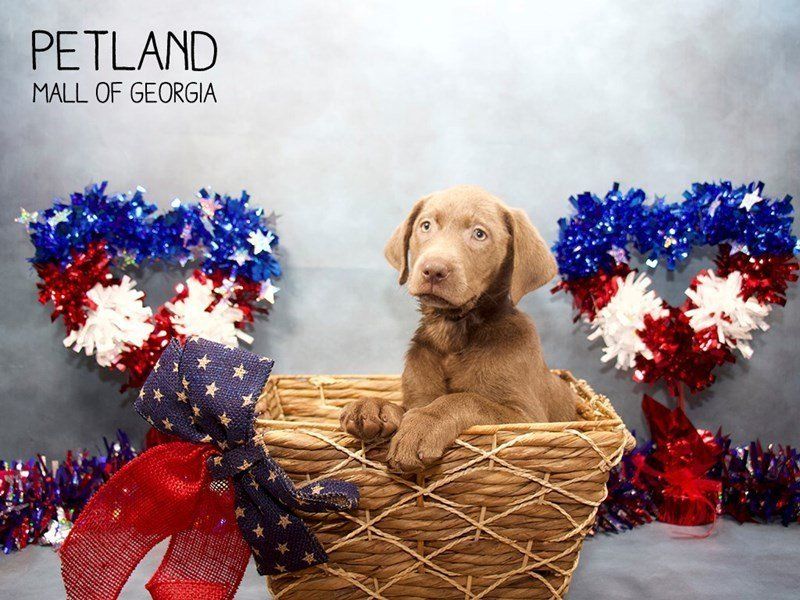 Labrador Retriever-Female-Silver-2415340-Petland Mall of Georgia