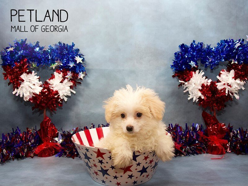 Pomapoo-Male-Cream-2415524-Petland Mall of Georgia