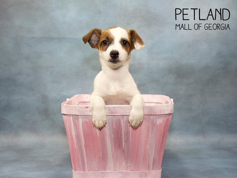 Jack Russell Terrier-Female-Tri-Colored-2421785-Petland Mall of Georgia