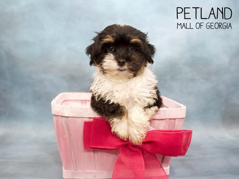 Havanese-Female-TRI-2446157-Petland Mall of Georgia