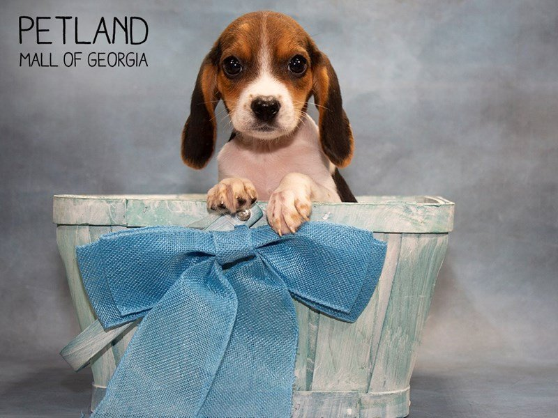 Beagle-Male-Black White / Tan-2455232-Petland Mall of Georgia