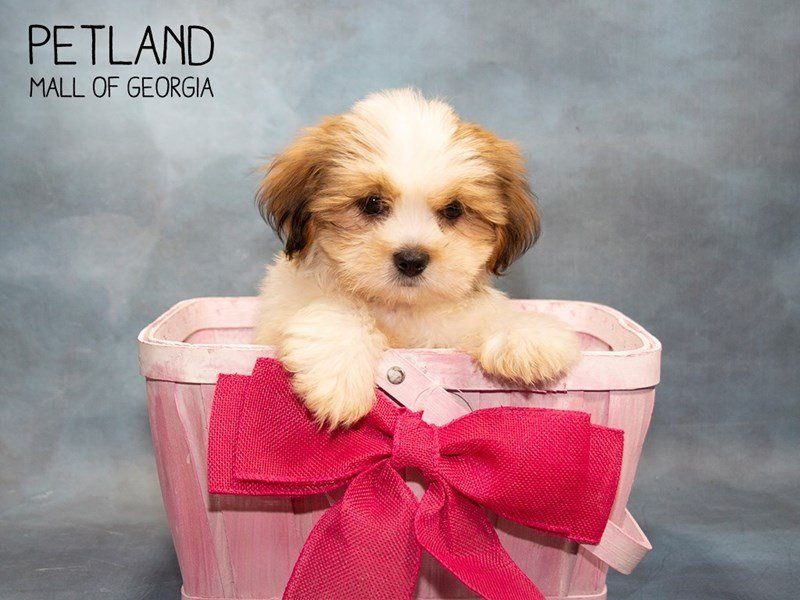 Lhasa Apso-DOG-Female-Gold-2455185-Petland Mall of Georgia