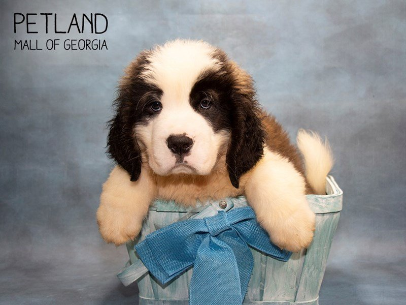 Saint Bernard-Male-Sable & White-2451037-Petland Mall of Georgia