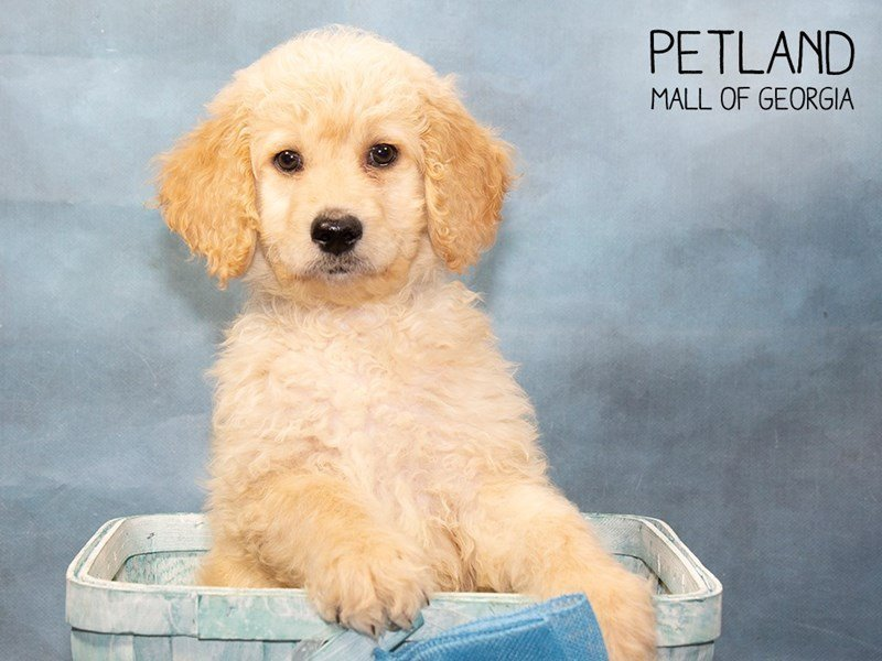 Goldendoodle-Male-Golden-2457338-Petland Mall of Georgia