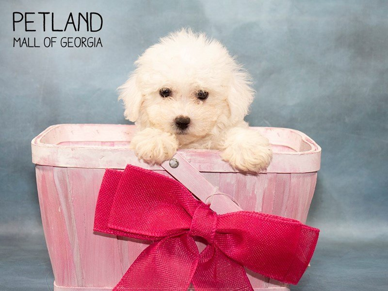 Bichon Frise-Female-White-2467125-Petland Mall of Georgia