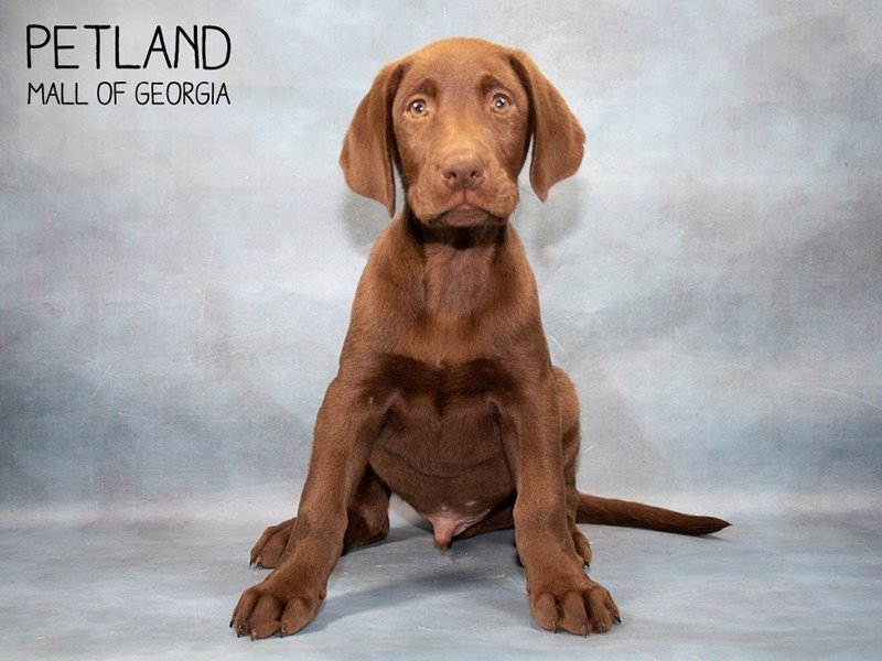Labrador Retriever-Male-Chocolate-2467122-Petland Mall of Georgia