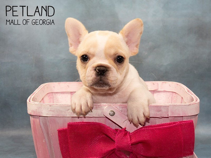 French Bulldog-Female-Cream-2466605-Petland Mall of Georgia