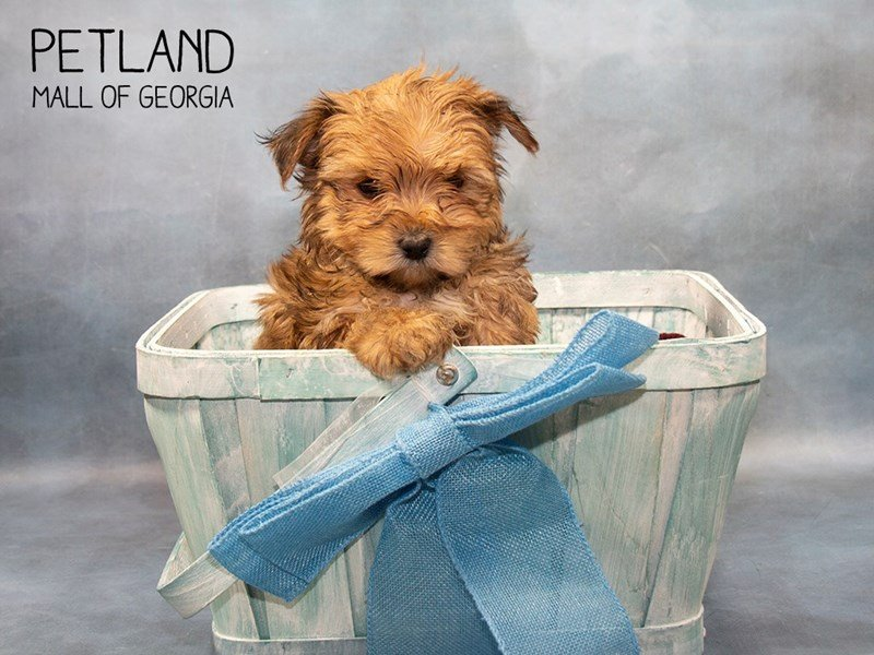 Morkie-Male-BEIGE-2463822-Petland Mall of Georgia