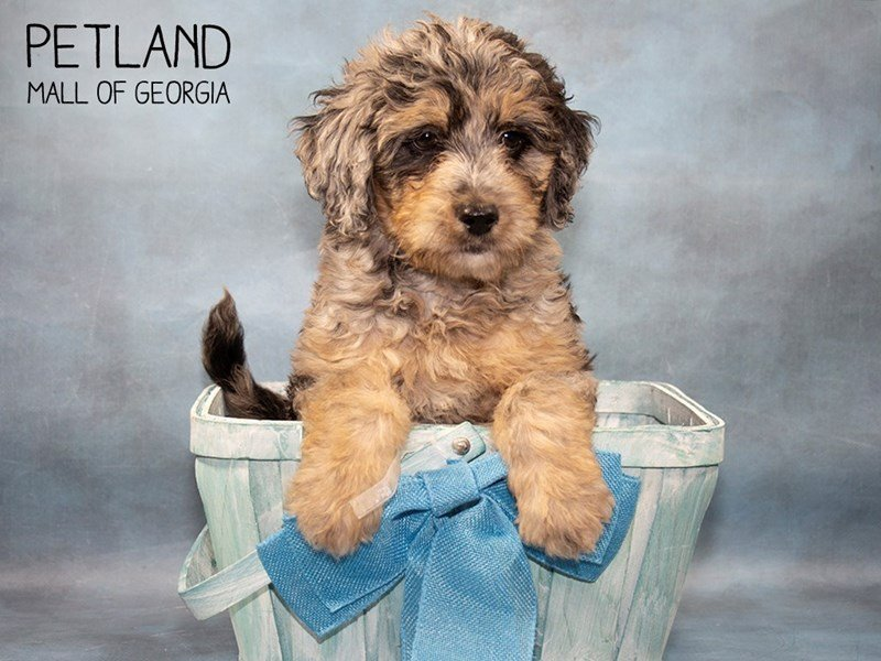 Goldendoodle-Male-Blue Merle-2464101-Petland Mall of Georgia