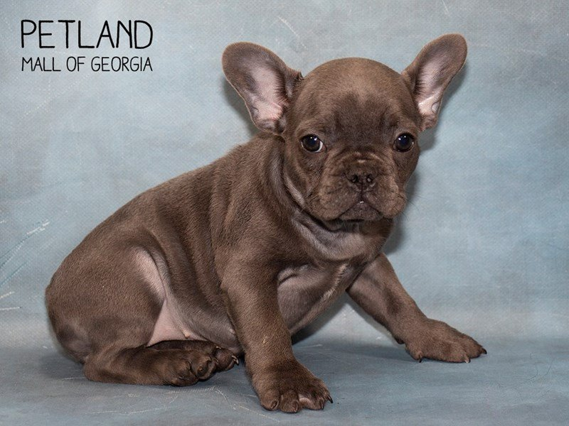 French Bulldog-Female-Blue-2493838-Petland Mall of Georgia