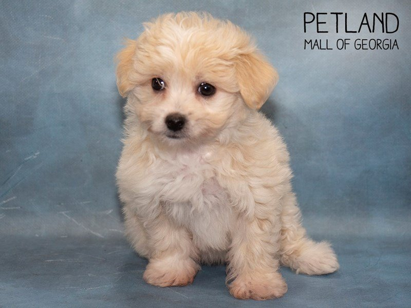 Havanese-Female-Cream-2479709-Petland Mall of Georgia