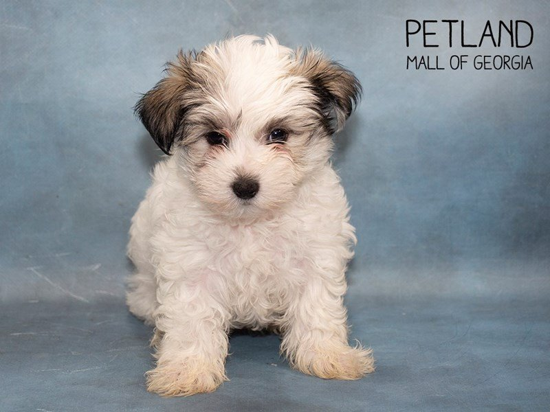 Morkie-Female-PARTI-2476150-Petland Mall of Georgia