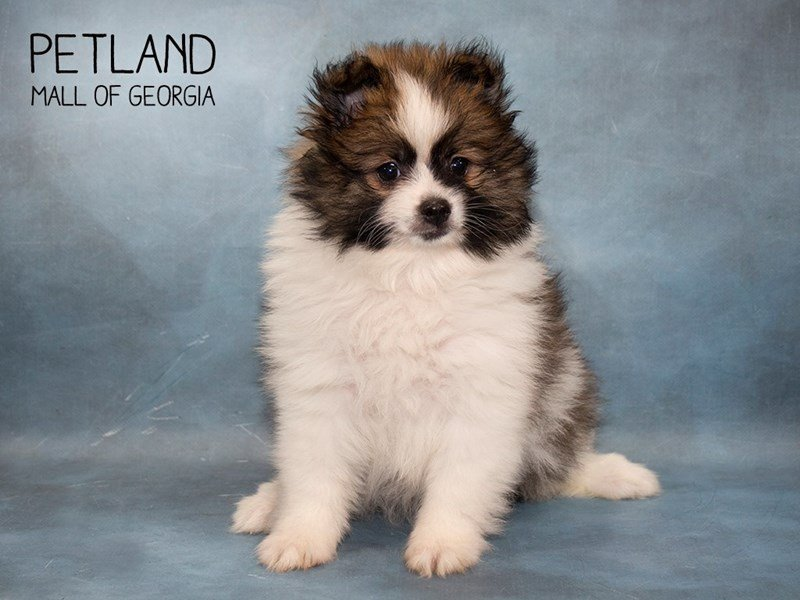 Pomeranian-Male-SABLE WHITE-2476139-Petland Mall of Georgia