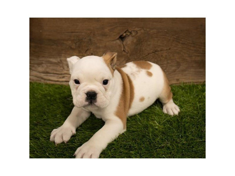 English Bulldog-Female-Fawn-2506957-Petland Mall of Georgia