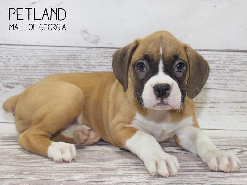 Boxer-DOG-Female-Fawn White-2503230-Petland Mall of Georgia