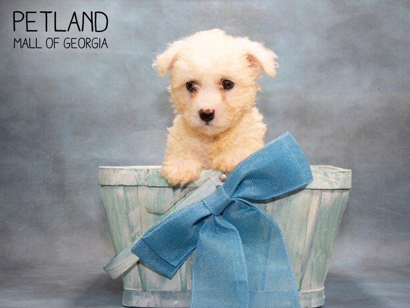 Bichon Frise-Male-White-2451192-Petland Mall of Georgia