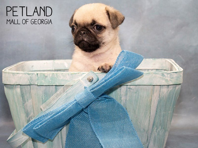 Pug-Male-FAWN-2464059-Petland Mall of Georgia