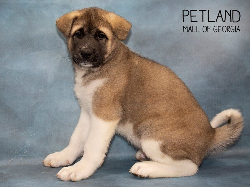 Akita-DOG-Male-Fawn-2479919-Petland Mall of Georgia