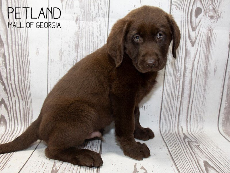 Labrador Retriever-Male-Chocolate-2496805-Petland Mall of Georgia