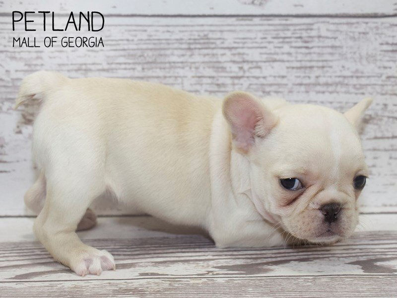 French Bulldog-Female-Cream-2506302-Petland Mall of Georgia