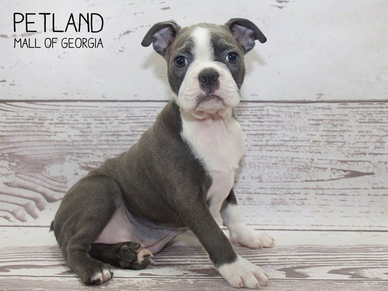 Boston Terrier-Male-BLUE WHITE-2503559-Petland Mall of Georgia